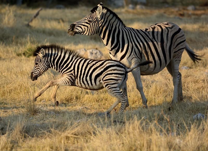 Plains Zebra Etosha 17 - Copy