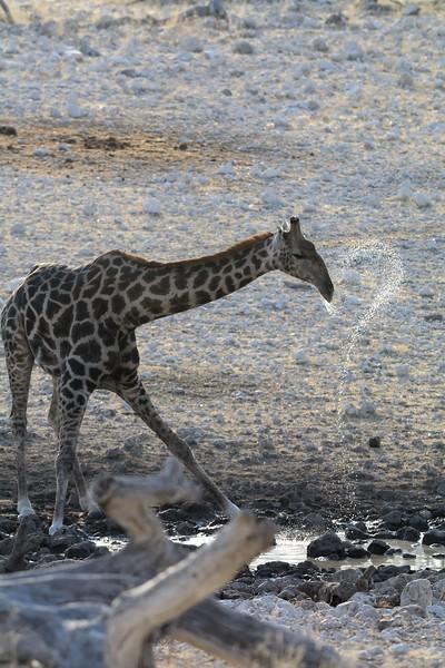 Giraffe Etosha 6 - Copy