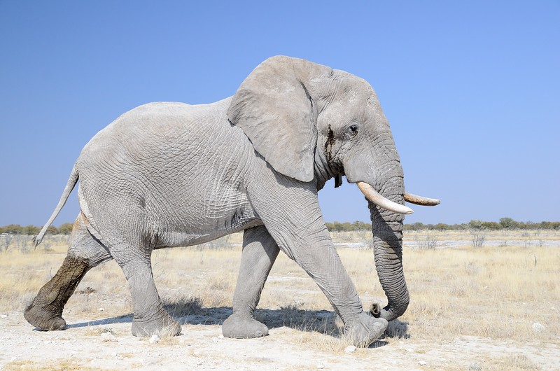 Elephant Etosha 39