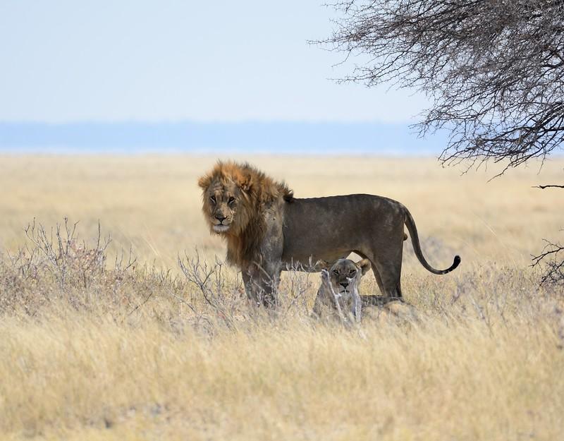 Lions mating Etosha 8