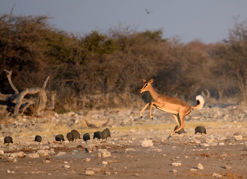 Impala Etosha 10