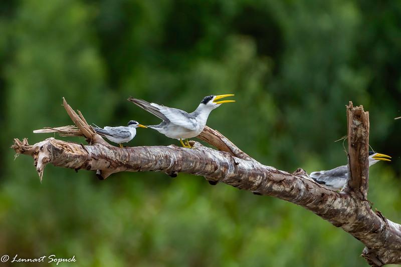 Large-billed Tern Manu Wildlife Centre