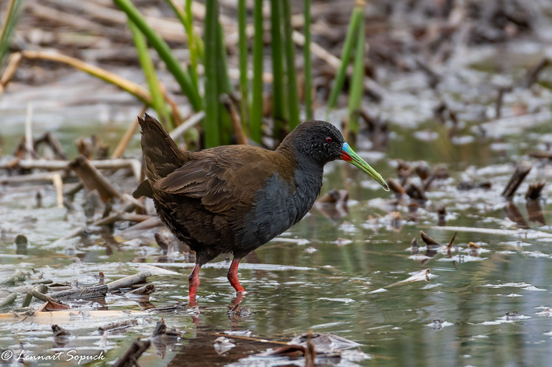 Plumbeous Rail at Huacarpay Lake near Cusco