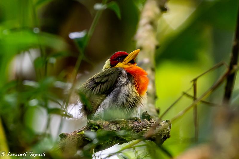 Lemon-throated Barbet at Amazonia Lodge upper Amazon basin