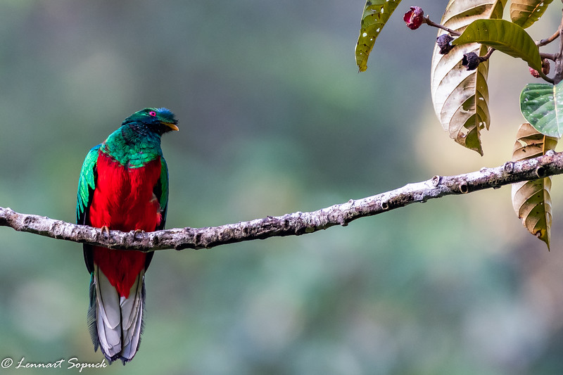 Crested Quetzal near Cock of the Rock Lodge