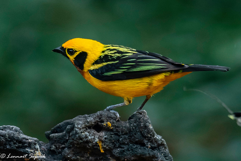 Golden Tanager at feeder at Cock of the Rock Lodge