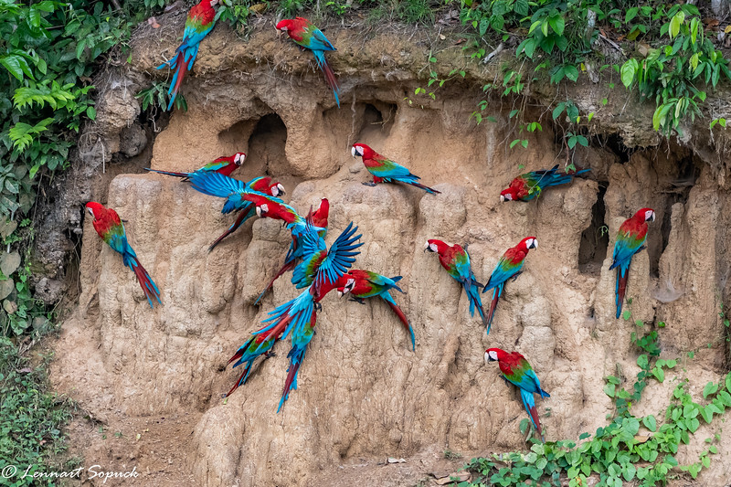 Red and Green Macaws Blanquillo Clay Lick