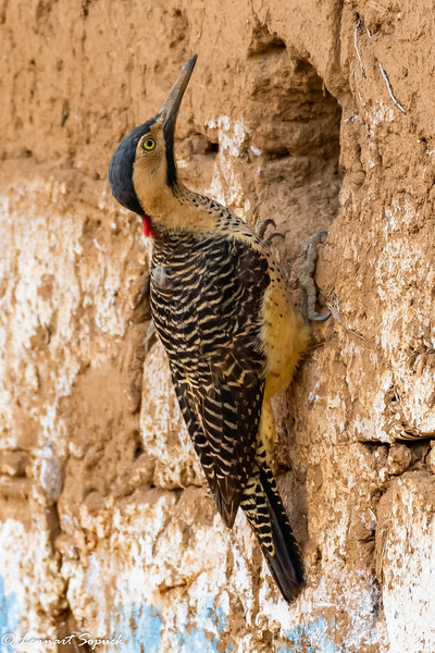 Andean Flicker on house in Andean town east of Cusco