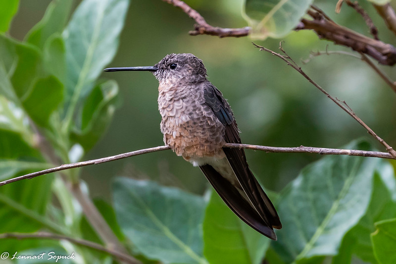 Giant Hummingbird in Andes east of Cusco