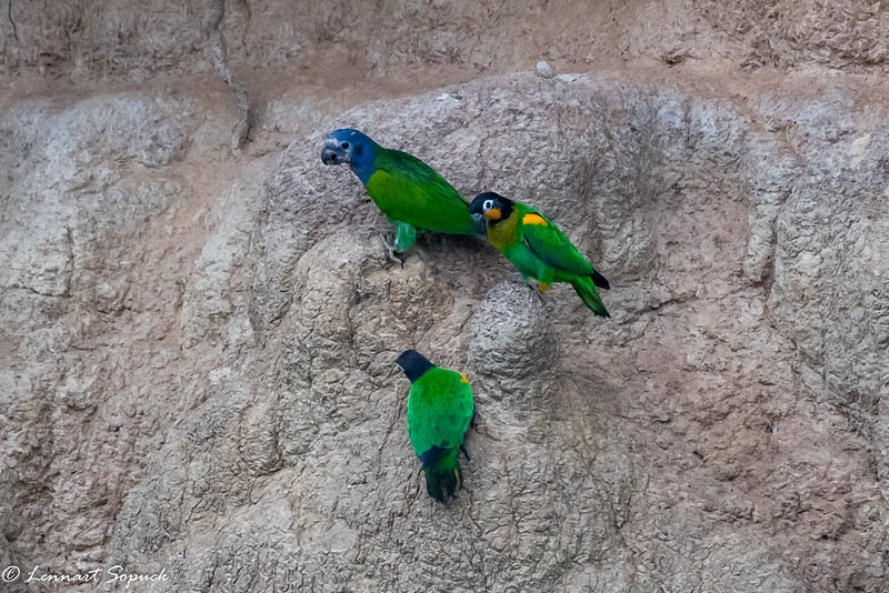 Blue-headed and Orange-cheeked Parrots Blanquillo Clay Lick