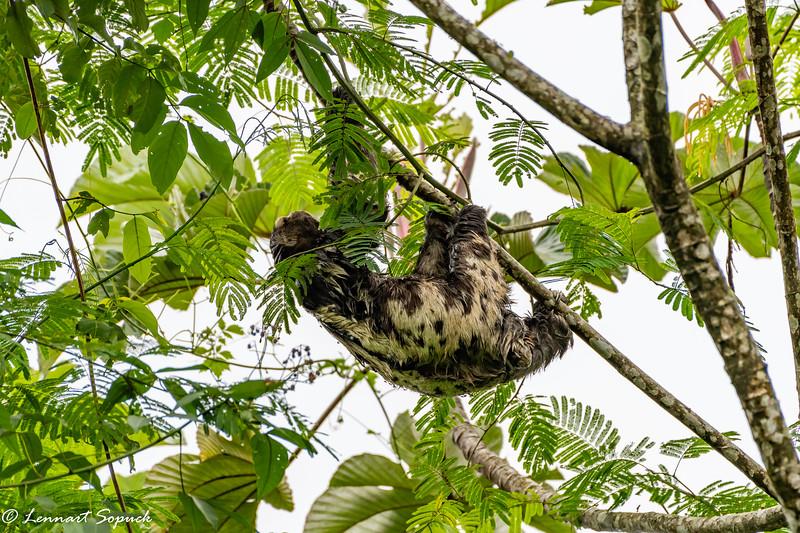 Three-toed Sloth at Manu Learning Centre Lodge