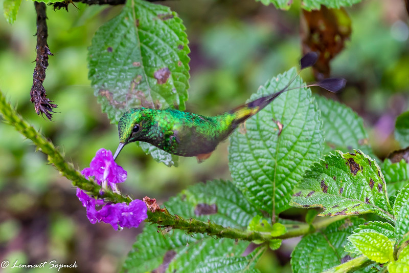 Booted Racket-tail hummingbird at Cock of the Rock Lodge