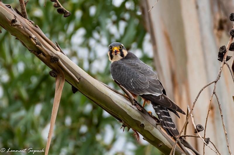 Aplomado Falcon pair with bird carcass at Huacarpay Lake near Cusco