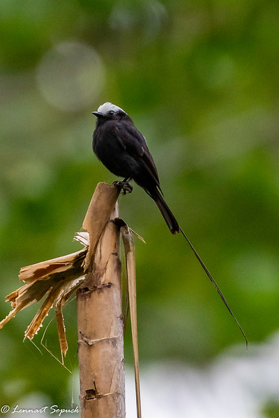 Long-tailed Tyrant at Amazonia Lodge