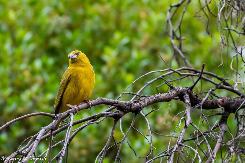 Greenish Yellow Finch Huarcarpay Lake