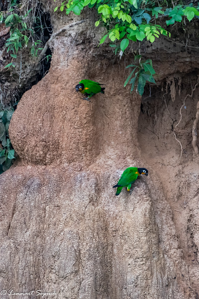 Orange-cheeked Parrots Blanquillo Clay Lick