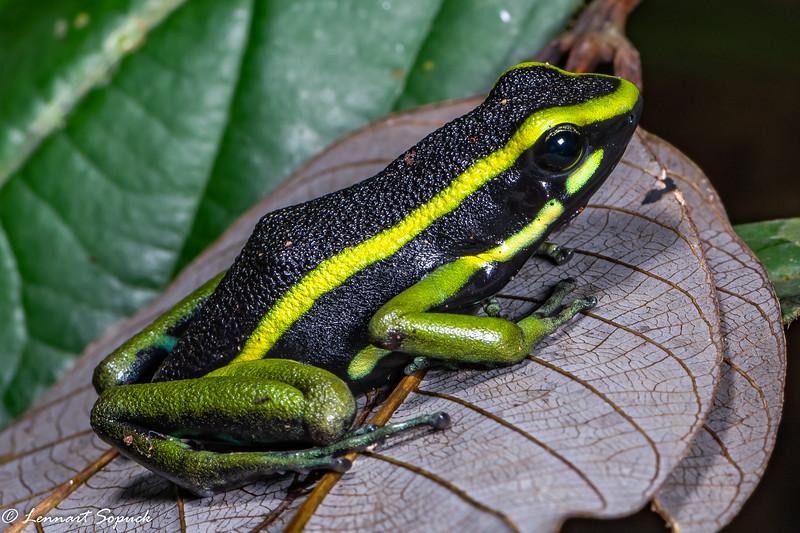 Ameerega trivittata  Poison Dart Frog Tapir Lick Trail Manu Wildlife Centre