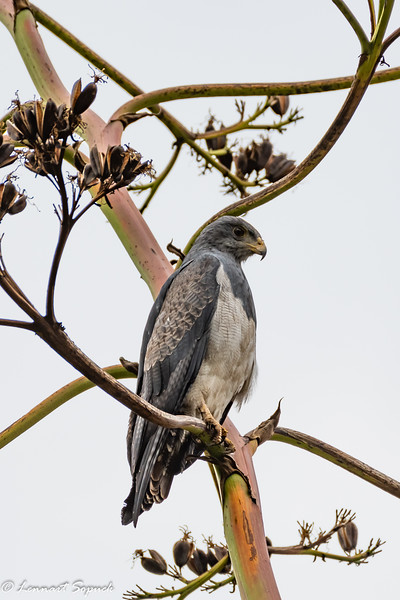 Black-chested Buzzard-eagle Huacarpay Lake