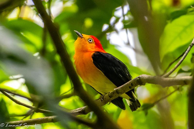 Band-tailed Manakin Manu Wildlife Centre