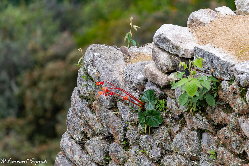 Wild begonias in bloom at Machu Picchu