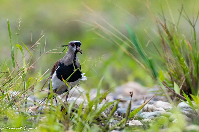 Southern Lapwing Madre de Dios River