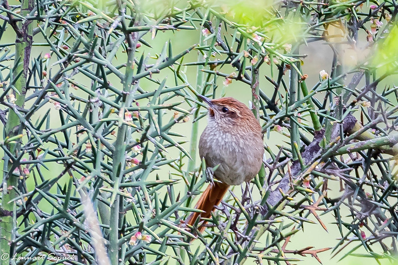 Rusty-fronted Canastero endemic Huarcarpay Lake near Cusco