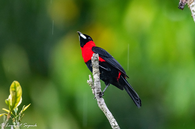 Masked Crimson Tanager at Amazonia Lodge