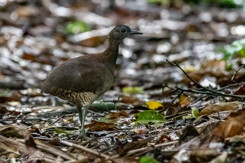 Undulated Tinamou at Manu Wildlife Centre
