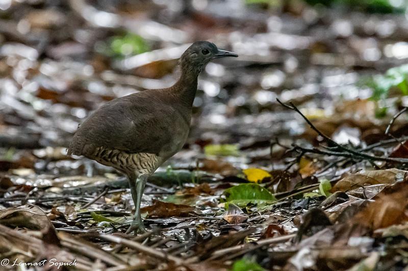 Undulated Tinamou at Manu Wildlife Centre