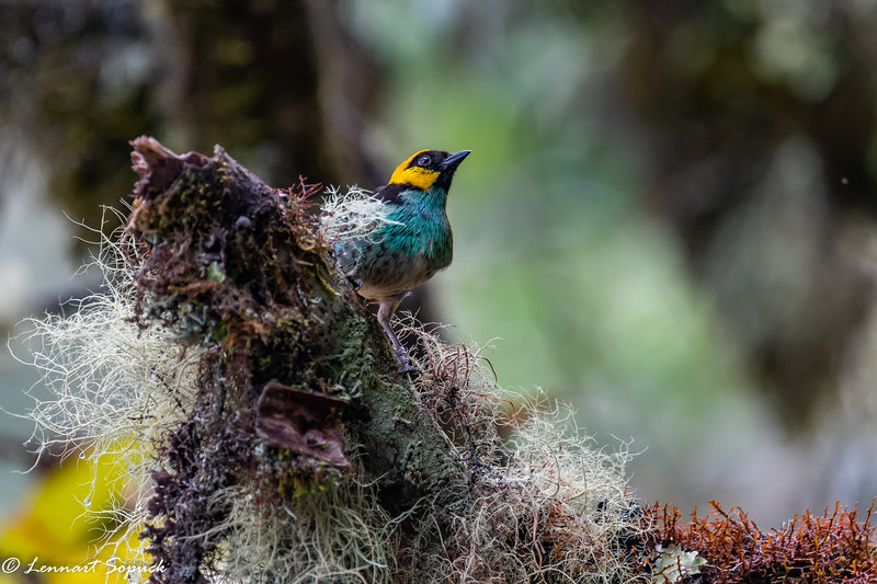 Saffron-crowned Tanager Machu Picchu cloud forest