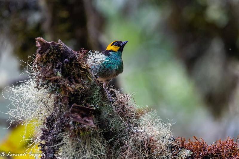 Saffron-crowned Tanager Machu Picchu cloud forest