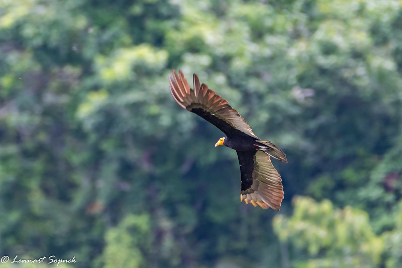Yellow-headed Vulture at Lago Blanco near Manu Wildlife Centre