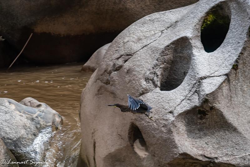 Fasciated Tiger-heron on Urubamba River sculpted rocks