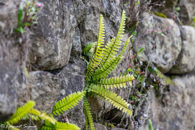 Machu Picchu ferns