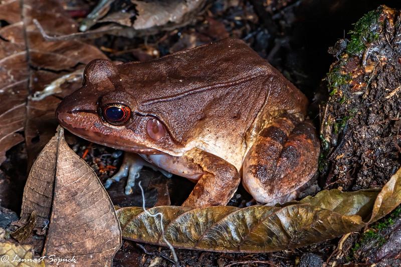 Leptodactylus spp bolivianus?