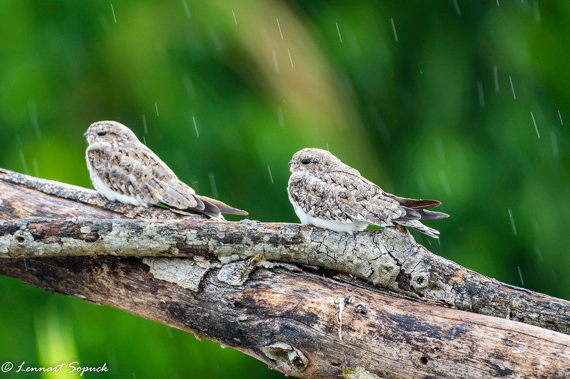 Sand-coloured Nighthawks roosting along Madre de Dios River