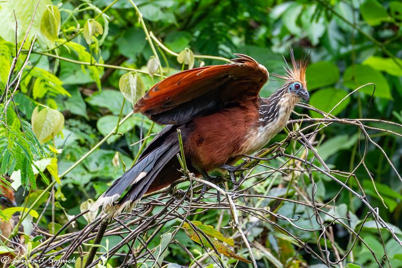 Hoatzin near Amazonia Lodge upper Amazon Basin