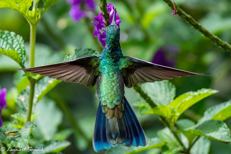 Sparkling Violet-ear Hummingbird in Andean Cloud forest Cock of the Rock Lodge