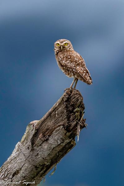 Burrowing Owl Madre de Dios River