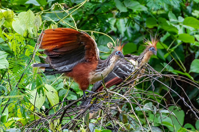 Hoatzin near Amazonia Lodge upper Amazon Basin