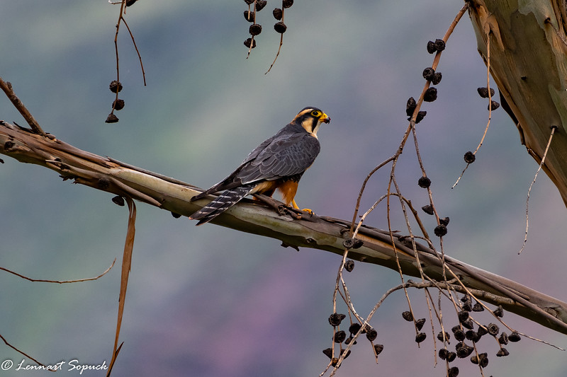 Aplomado Falcon pair with bird carcass at Huacarpay Lake near Cusco