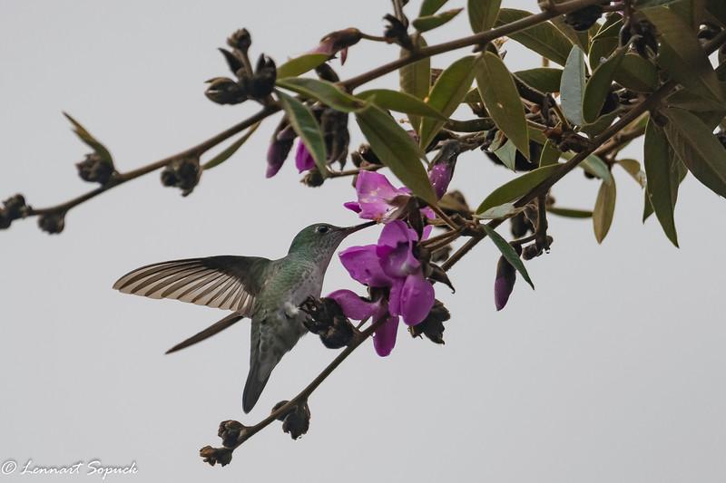 Hummingbird at Machu Picchu Sun Gate