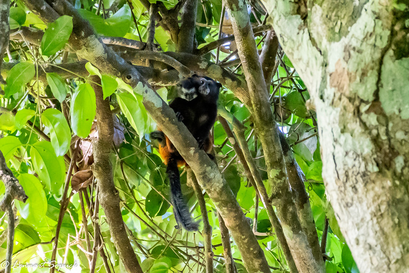 Saddle-backed tamarin and young Manu Wildlife Centre