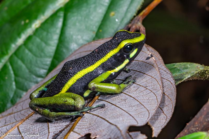 Ameerega trivittata  Poison Dart Frog Tapit Lick Trail manu Wildlife Centre