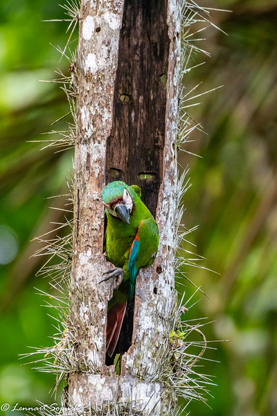 Chestnut-fronted Macaw at nest near Amazonia Lodge