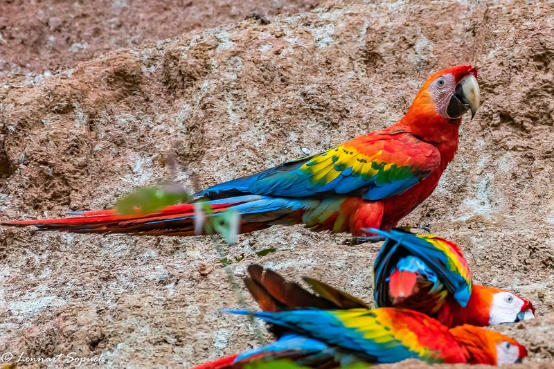 Scarlet Macaws Manu Lick Project