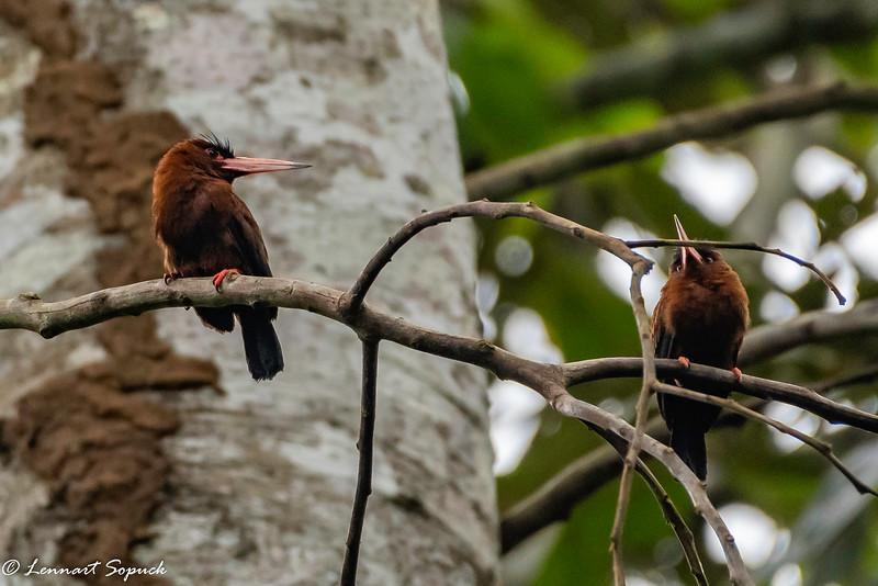 Purus Jacamar Bamboo Trail Manu Wildlife Centre