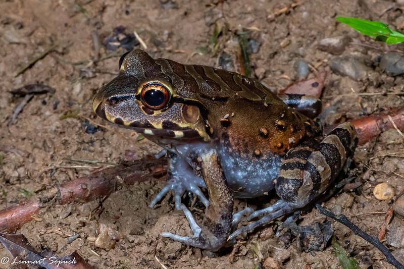 Leptodactylus pentdactylus Smokey Jungle Frog Manu Wildlife Centre  near burrow