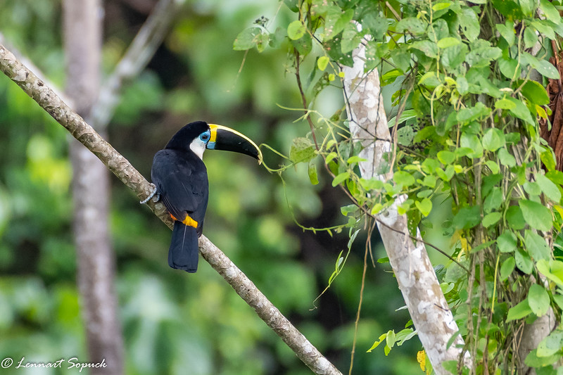 Channel-billed Toucan Blanquillo Lick