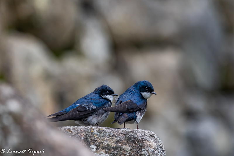 Blue-and-White Swallows on Incan wall at Machu Picchu